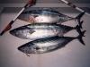 poissons_038